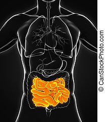 pequeño, anatomía, intestino, humano