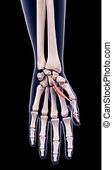 the flexor pollicis brevis - medically accurate illustration...