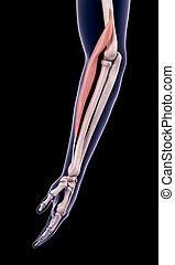 the brachioradialis - medically accurate illustration of the...