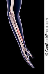 the flexor pollicis longus - medically accurate illustration...