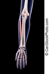 the extensor carpi radialis brevis - medically accurate...
