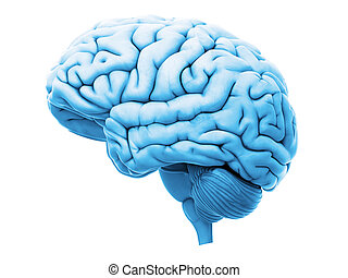 the human brain - medically accurate 3d illustration of the...