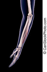 the extensor digiti minimi - medically accurate illustration...