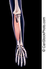 the flexor digitorum superficialis - medically accurate...