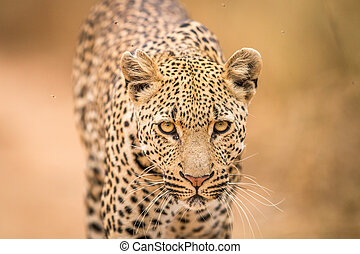 Leopard starring at the camera - Leopard starring at the...