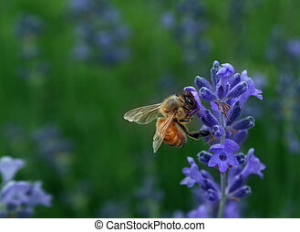 Honeybee collecting nectar as a bee working on a lavender...