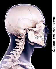 the obliquus superior capiti - medically accurate...