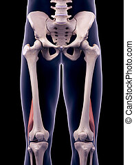 the biceps femoris short - medically accurate illustration...