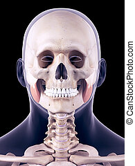 the masseter superior - medically accurate illustration of...