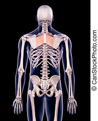 the rhomboid major - medically accurate illustration of the...