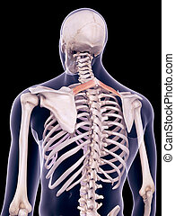 the rhomboid minor - medically accurate illustration of the...