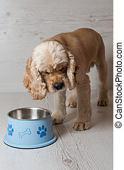 Spaniel eating dog food from his bowl