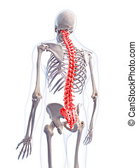 the human spine - medically accurate 3d illustration of the...