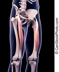 the rectus femoris - medically accurate illustration of the...