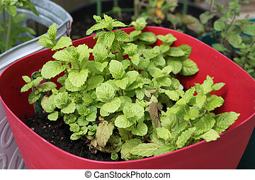 Small Spearmint plant - Small spearmint herb plant growing...