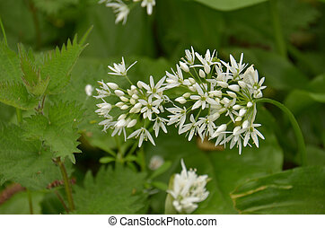 Ramsons Allium ursinium - Blooming colourfully here in the...