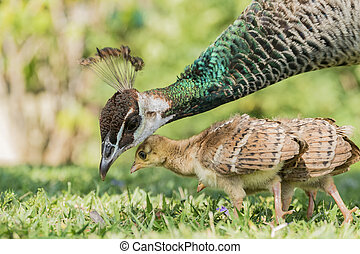 Beautiful female peacock and her child at Los Angeles