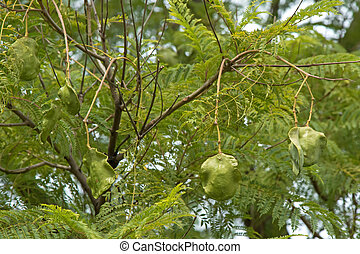 Fresh green Jacaranda seed pods on its tree, in South...