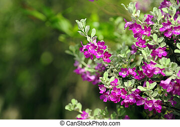 Barometer Brush - Purple flowers bush Barometer Bush need...