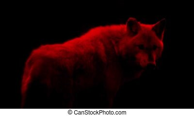 Blood Red Wolf Abstract - Red wolf looking around on black...