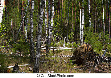 Birch grove on the border with Belarus and Russia. Located...