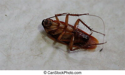 dying cockroach lying on its back