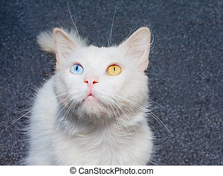 Portrait of a white cat - White cat with heterochromia - a...