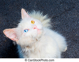 white cat with eyes heterochromia - White cat with...