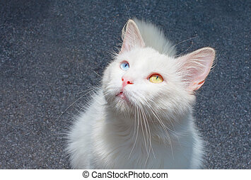 Portrait of a cat different eyes - White cat with...