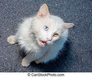 white cat different color eyes lick - White cat with...