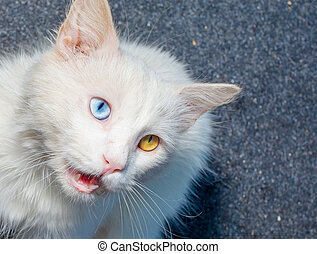 Portrait of a white cat meowing - White cat with...