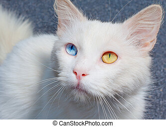 Portrait of cat with heterochromia - White cat with...