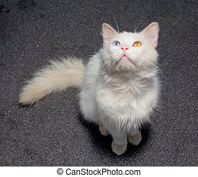 white cat with a different eye - White cat with...
