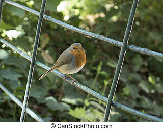 Little robin bird on a fence