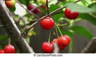 sour cherry orange color
