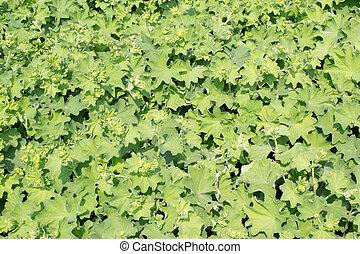 Ladys mantle - Ladys mantle or Alchemilla mollis plants