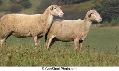 Flock of sheep - Two sheep standing in a line between the...