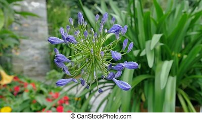 Beautiful close up of blue lily of the niles blooming...