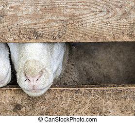 山羊, 是, 看, 在外, ......的, the, 穩定