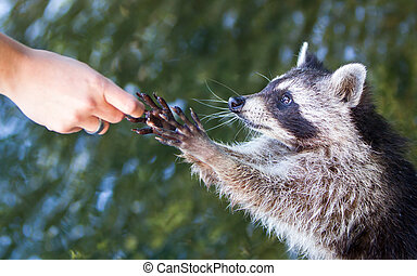 Racoon begging for food - Adult racoon begging for food,...