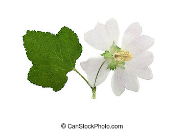 Pressed and dried flower mallow. Isolated - Pressed and...