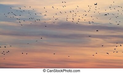 numerous flocks of starlings and eggplant flying at...