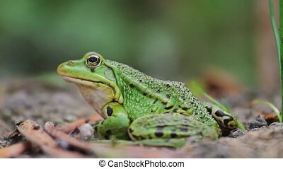 Pool frog on lake shore,Pool frog portrait, amphibians,...