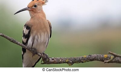 hoopoe sitting on a dry branch - magnificent bird with a...