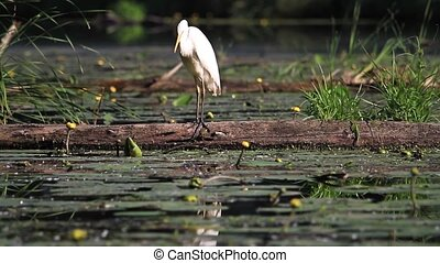 great white bird cleaning feathers,great egret,fallen tree