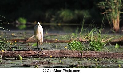 egret cleans feathers,big white bird,sunrise