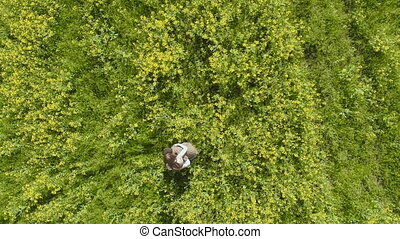 Aerial View. Man rotates Woman in rapeseed field - Man...