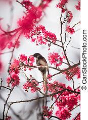 Bird with blossom - A black bird with blossom