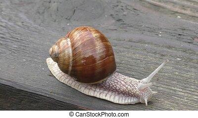 Snail on a wooden board