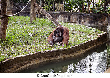 The adult male of the Dominant orangutan - The adult male of...